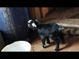 Наша коза родила ягненка:3